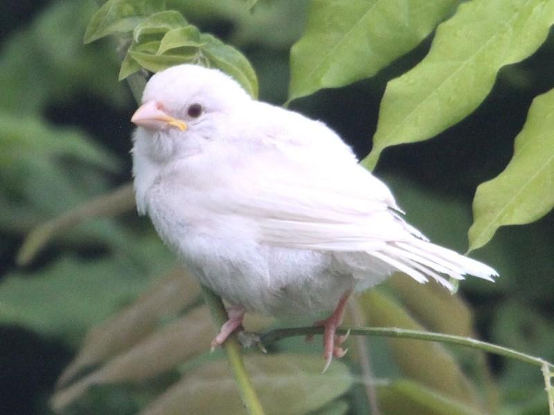 Moineau blanc ! Albinisme ou leucistisme