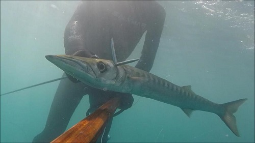 barracuda%20benoit%20apn.jpg