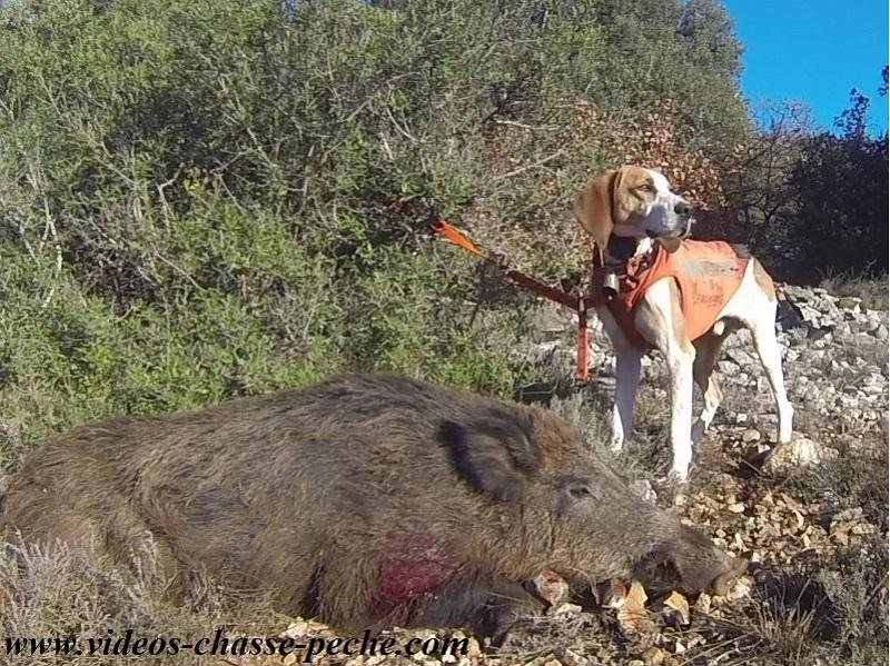 la chasse au sanglier