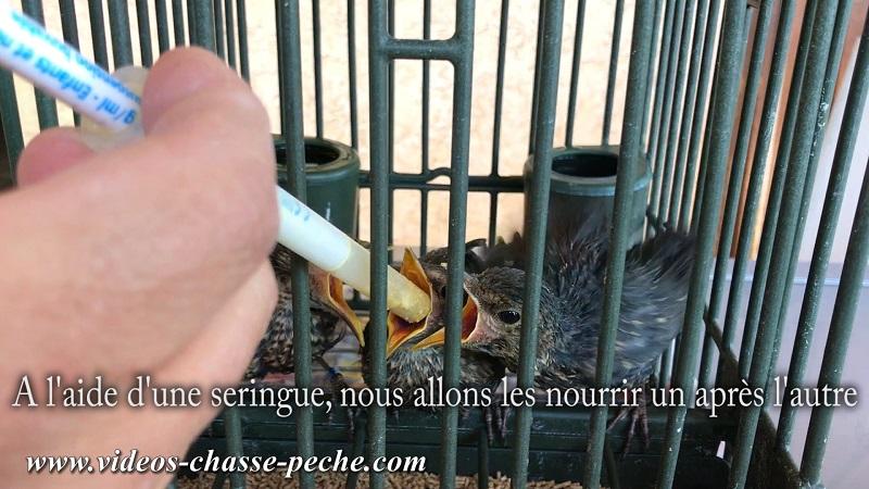comment nourrir oisillon