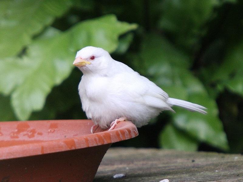 Moineau blanc albinos