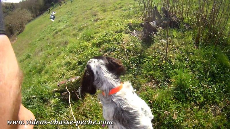Vidéo Dressage chien Setter Anglais (débourrage)