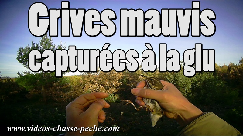 Grive mauvis