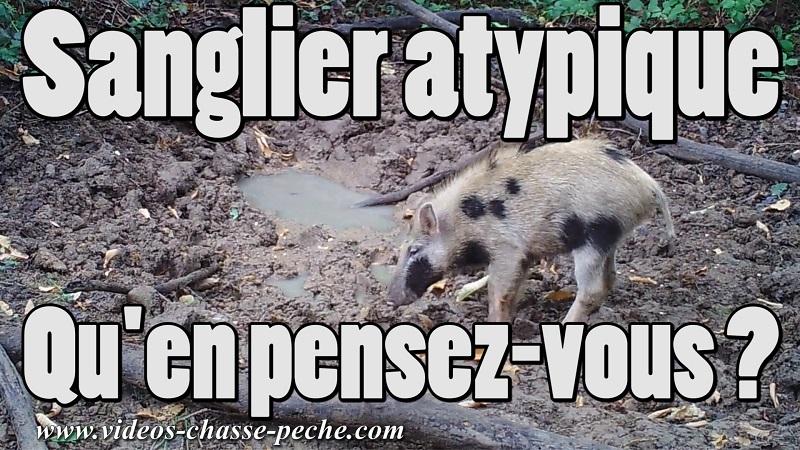 Sanglier atypique
