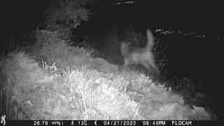 3 loups en action de chasse