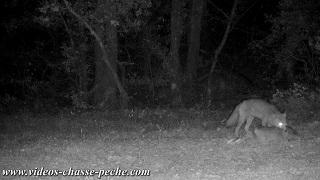 Quand un renard transporte un faon aussi gros que lui !